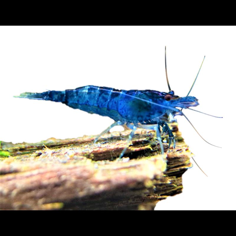 Blue Dream Garnéla