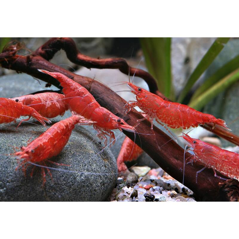 Red Cherry garnéla